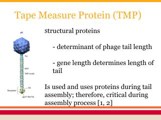 Tape Measure Protein (TMP)