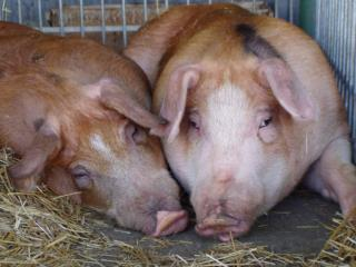 Status  & challenges of Polish pork  production