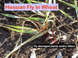 Hessian Fly In Wheat