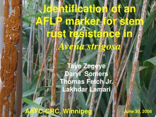 Identification of an AFLP marker for stem rust resistance in    Avena strigosa
