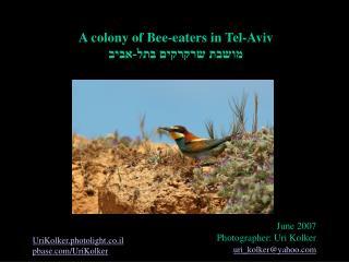 A colony of Bee-eaters in Tel-Aviv מושבת שרקרקים בתל-אביב
