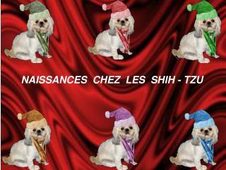NAISSANCES  CHEZ  LES  SHIH - TZU