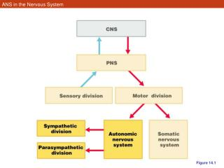 ANS in the Nervous System