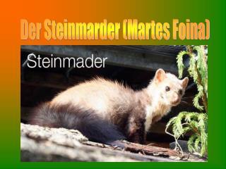 Der Steinmarder (Martes Foina)