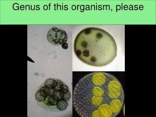 Genus of this organism, please