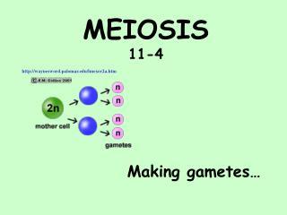 MEIOSIS 11-4