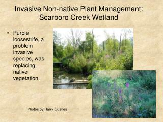 Invasive Non-native Plant Management: Scarboro Creek Wetland