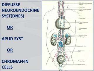 DIFFUSSE NEUROENDOCRINE SYST(DNES)    OR APUD SYST   OR CHROMAFFIN CELLS