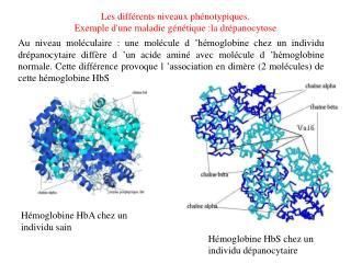 Les différents niveaux phénotypiques. Exemple d'une maladie génétique :la drépanocytose