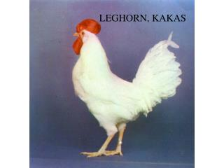 LEGHORN, KAKAS