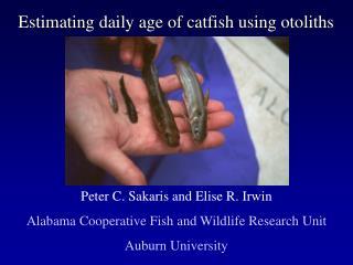 Estimating daily age of catfish using otoliths