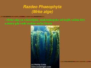 Razdeo  P haeophyta ( Mrke alge )