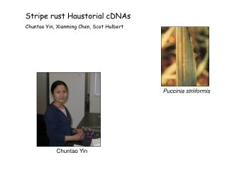 Stripe rust Haustorial cDNAs Chuntao Yin, Xianming Chen, Scot Hulbert
