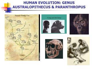 HUMAN EVOLUTION: GENUS AUSTRALOPITHECUS  PARANTHROPUS