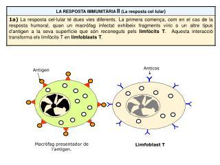 Macròfag presentador de l'antigen.