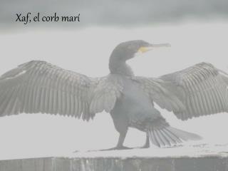 Xaf, el corb marí