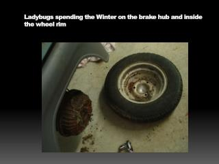 Ladybugs spending the Winter on the brake hub and inside the wheel rim