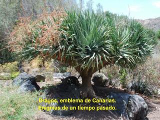 Dragos, emblema de Canarias. Enigmas de un tiempo pasado.