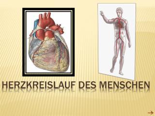 Herzkreislauf des M e nsche n