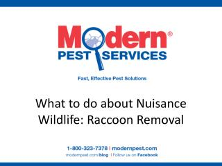What to do about Nuisance Wildlife: Raccoon Removal