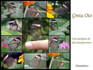 Una mariposa de alas transparentes