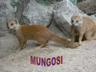 MUNGOSI