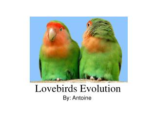 Lovebirds Evolution By: Antoine
