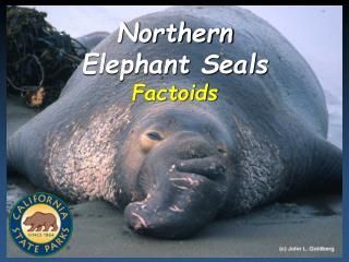 Northern Elephant Seals Factoids
