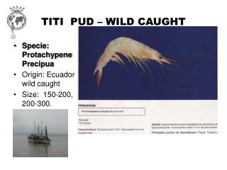 TITI  PUD – WILD CAUGHT