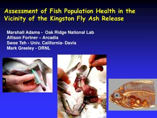 Assessment of Fish Population Health in the Vicinity of the Kingston Fly Ash Release