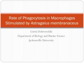 Rate of Phagocytosis in Macrophages Stimulated by  Astragalus membranaceus