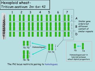 Hexaploid wheat -  Triticum aestivum   2n= 6x= 42