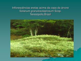 Inflorescências eretas acima da copa da árvore Solanum granulosoleprosum Scop. Teresópolis,Brasil