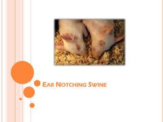 Ear Notching Swine