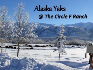 Alaska Yaks