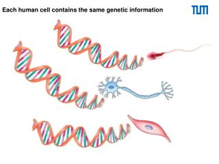 Each human cell contains the same genetic information