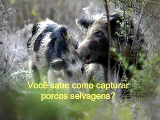 Voc� sabe como capturar  porcos selvagens?