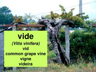 vide (Vitis vinifera) vid common grape vine vigne videira