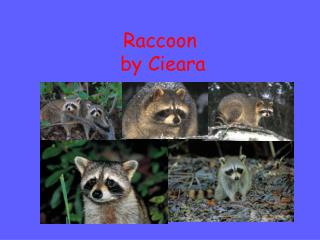 Raccoon   by Cieara