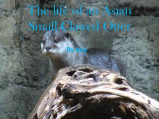The life of an Asian Small Clawed Otter