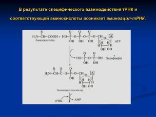 Строение рибосом про- и эукариот