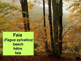 Faia  (Fagus sylvatica) beech hêtre  faia