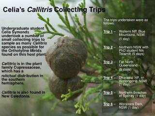 Celia's  Callitris  Collecting Trips