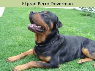 El gran Perro Doverman