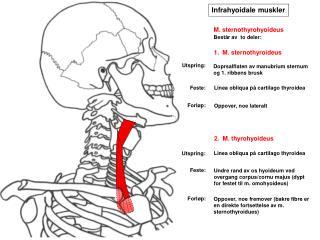 Infrahyoidale muskler
