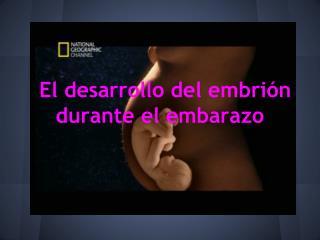 El desarrollo del embrión durante el embarazo