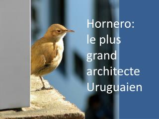 Hornero: le plus grand architecte Uruguaien