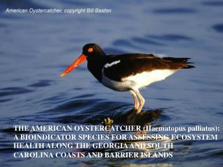 THE AMERICAN OYSTERCATCHER (Haematopus palliatus):