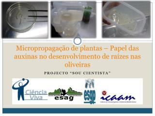 Micropropagação de plantas – Papel das auxinas no desenvolvimento de raízes nas oliveiras