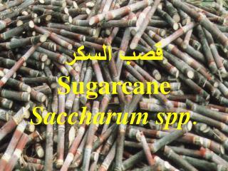 قصب السكر Sugarcane Saccharum spp .